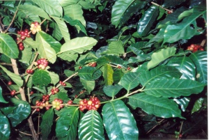 Coffee that is ready to be picked